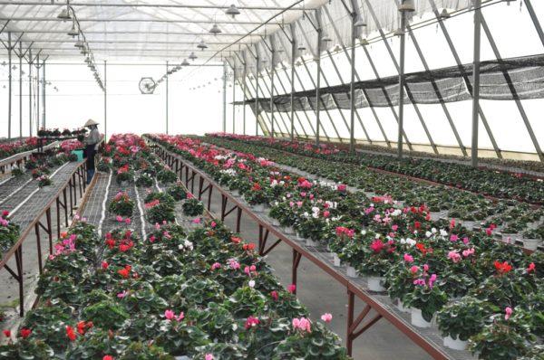 T7/2017 - Tuyển gấp 10 nữ Trồng hoa trong nhà kính tại tỉnh Kumamoto Nhật Bản thời hạn 3 năm