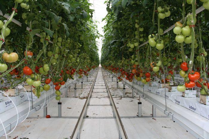 T6/2017 - Tuyển 10 nữ Trồng và thu hoạch cà chua làm việc tại tỉnh Gunma Nhật Bản