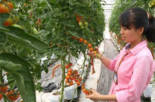T5/2017 - Tuyển 03 nữ canh tác nông nghiệp trồng rau, cà chua