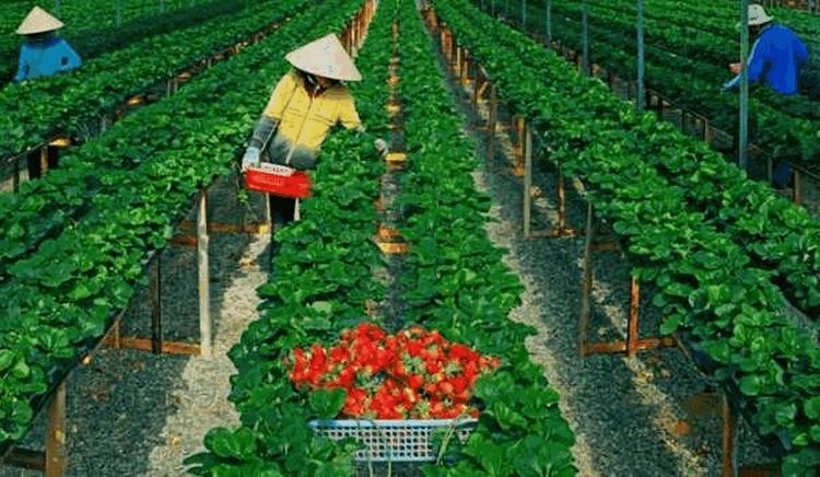 T6/2017 - Tuyển gấp 04 nữ Trồng và thu hoạch dâu tây làm việc tại Nhật Bản